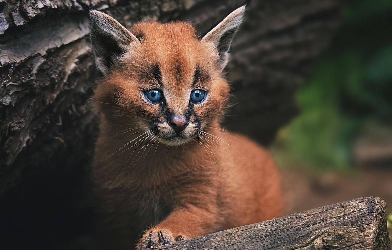 Photo wallpaper cub, kitty, wild cat, Caracal