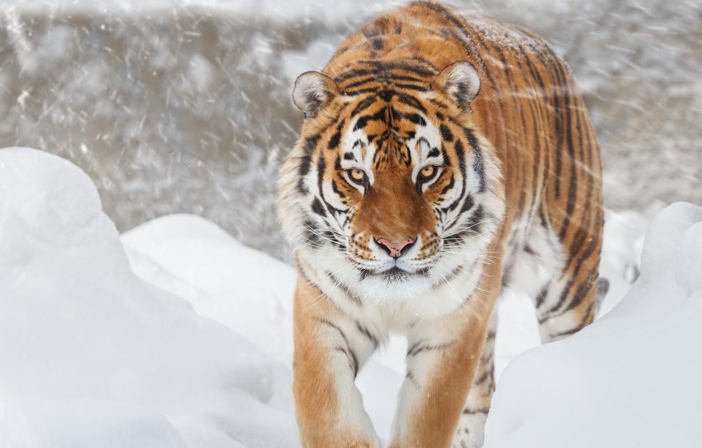 Photo wallpaper tiger, Snow, feline, Big cat