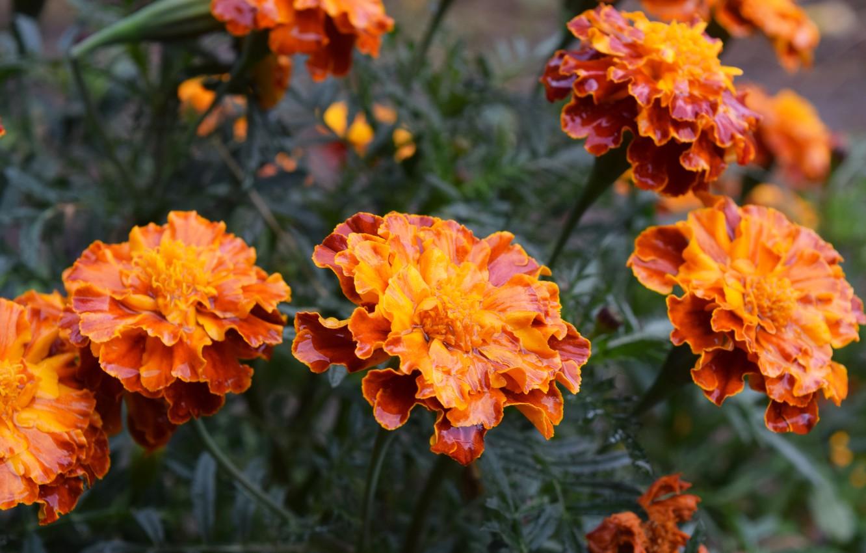 Photo wallpaper autumn, flowers, marigolds, orange petals