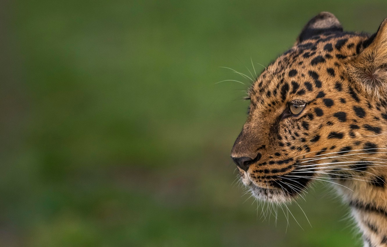 Photo wallpaper face, background, portrait, leopard, profile, wild cat