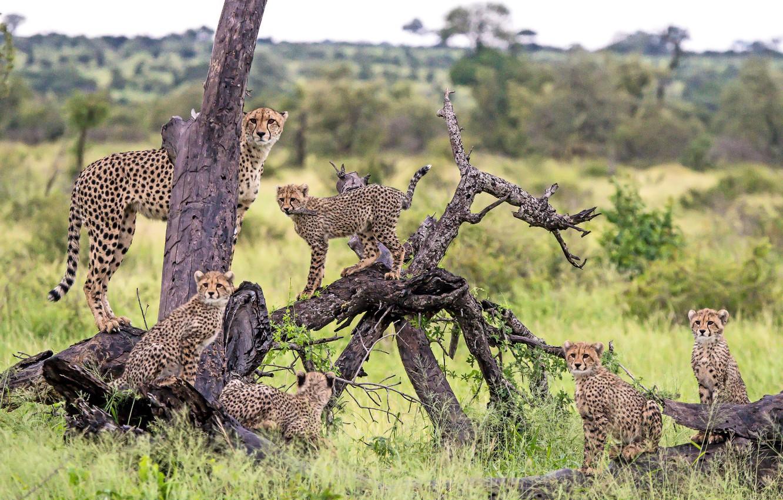 Photo wallpaper predators, family, cheetahs