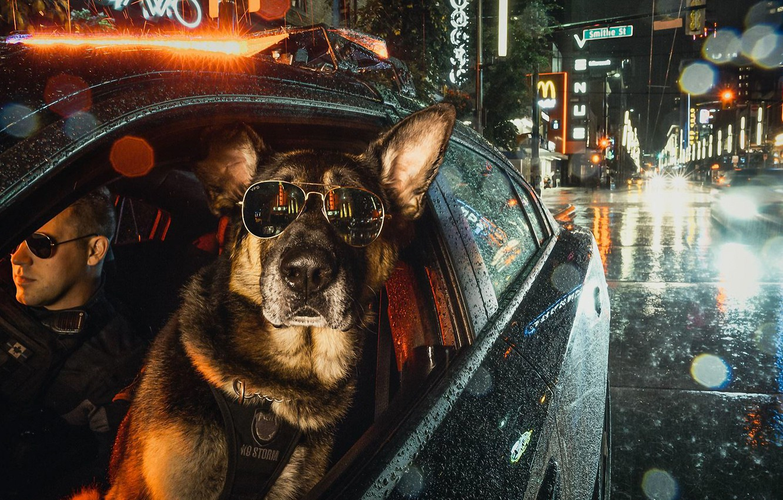Photo wallpaper car, night, city, the city, lights, glasses, dog, police, night, German shepherd, uniform, German Shepherd
