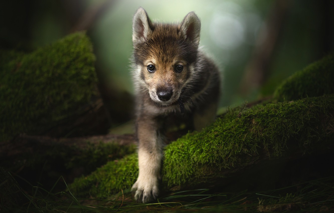 Photo wallpaper look, paw, moss, puppy, face, The tamaskan dog