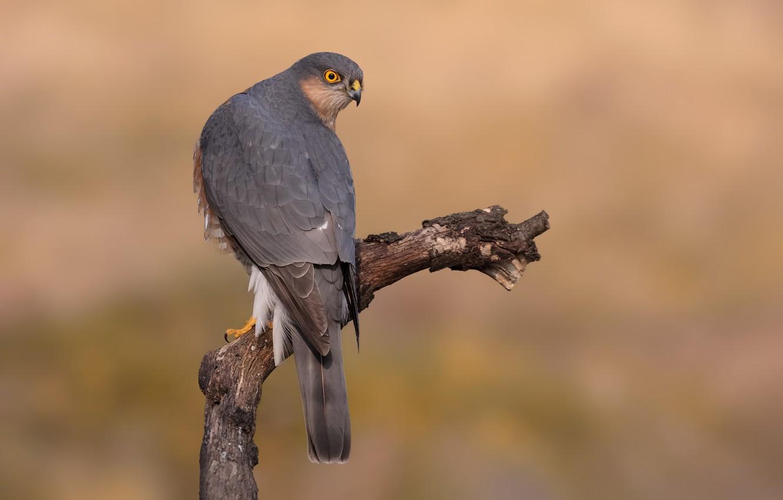 Photo wallpaper background, bird, predator, branch, hawk, bokeh