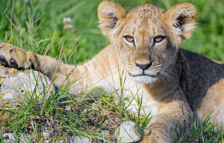 Photo wallpaper grass, look, face, portrait, paws, lies, lion