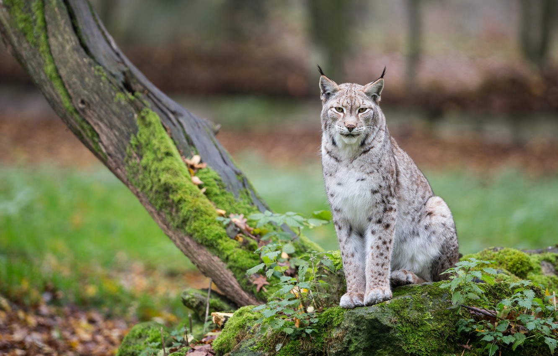 Photo wallpaper tree, lynx, wild cat