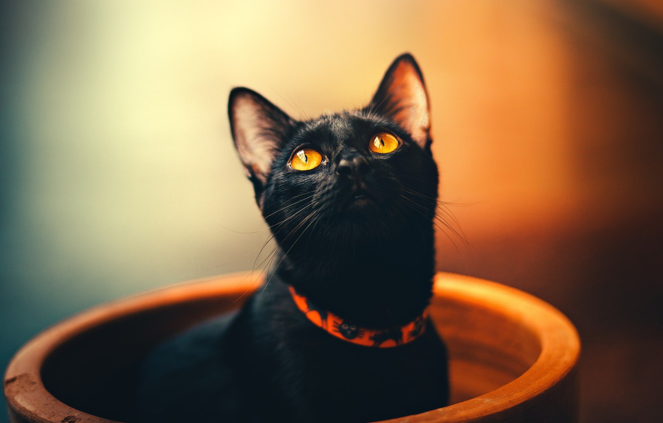 Photo wallpaper cat, eyes, cat, look, face, orange, yellow, pose, background, black, portrait, black, pot, collar, beauty, …
