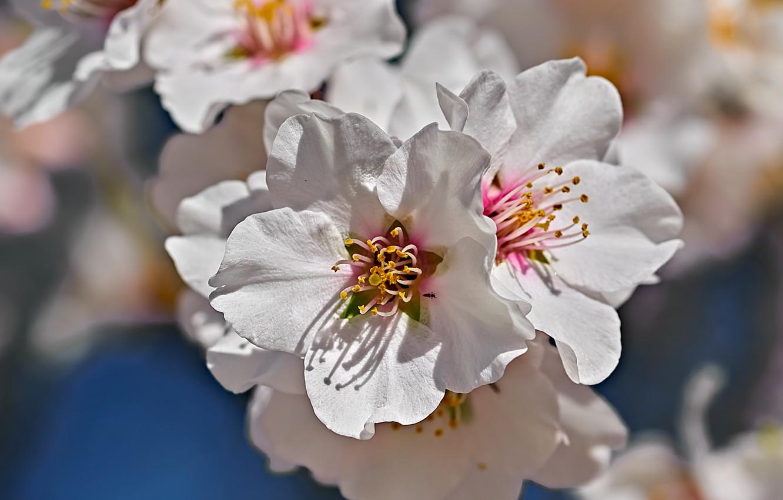 Photo wallpaper macro, flowering, flowers, Almonds