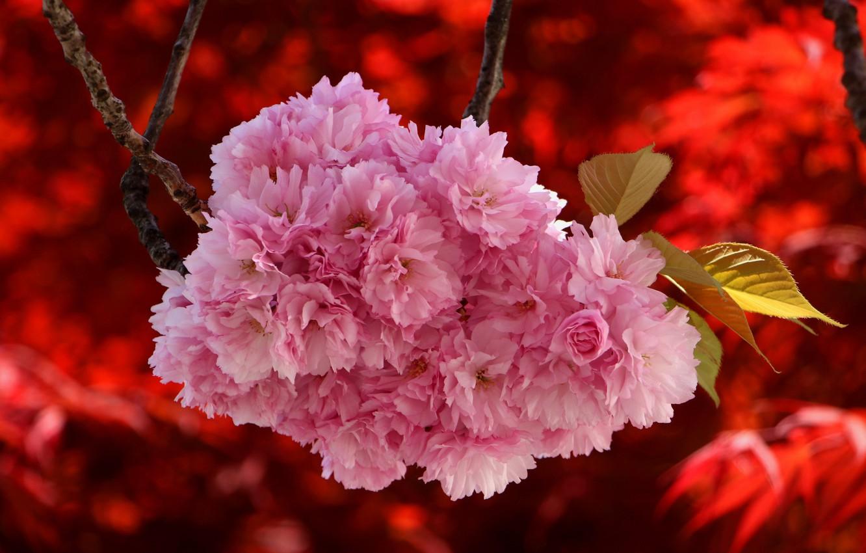 Photo wallpaper branch, Sakura, red background