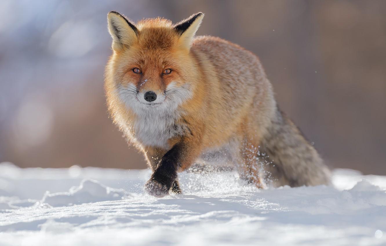 Photo wallpaper winter, snow, Fox, Fox