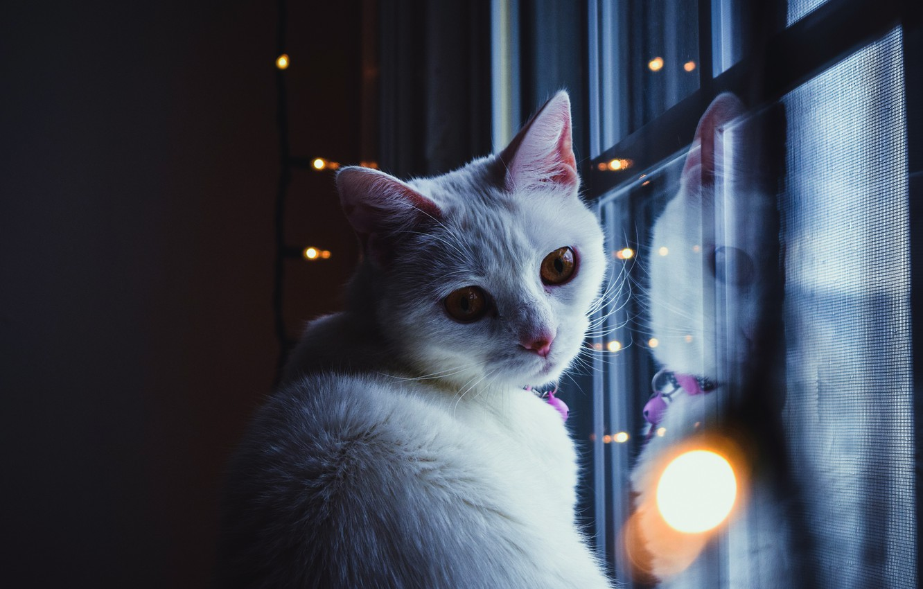Photo wallpaper cat, cat, look, face, light, glare, reflection, the dark background, wall, portrait, window, white, beauty, …