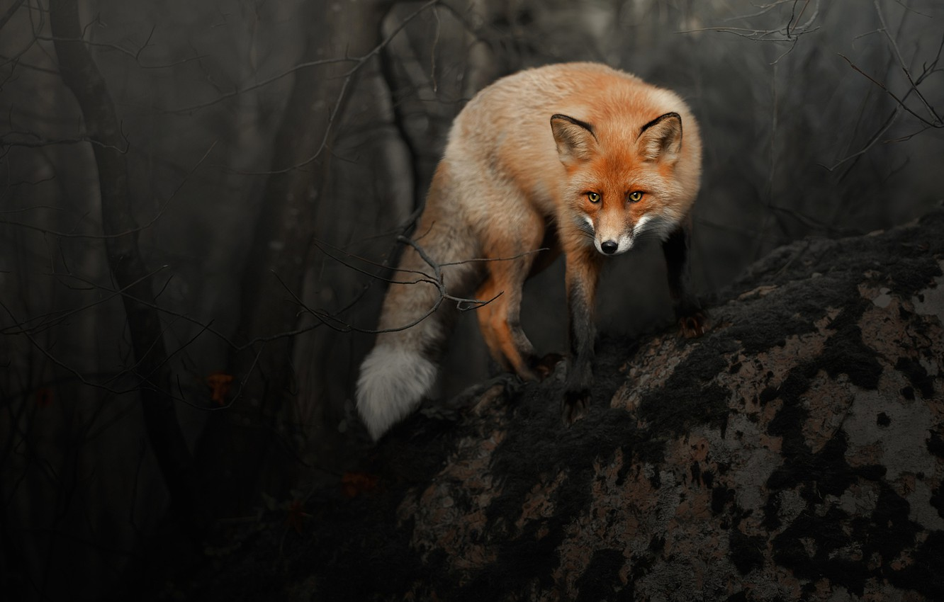 Photo wallpaper forest, look, branches, pose, the dark background, Fox, red, Fox
