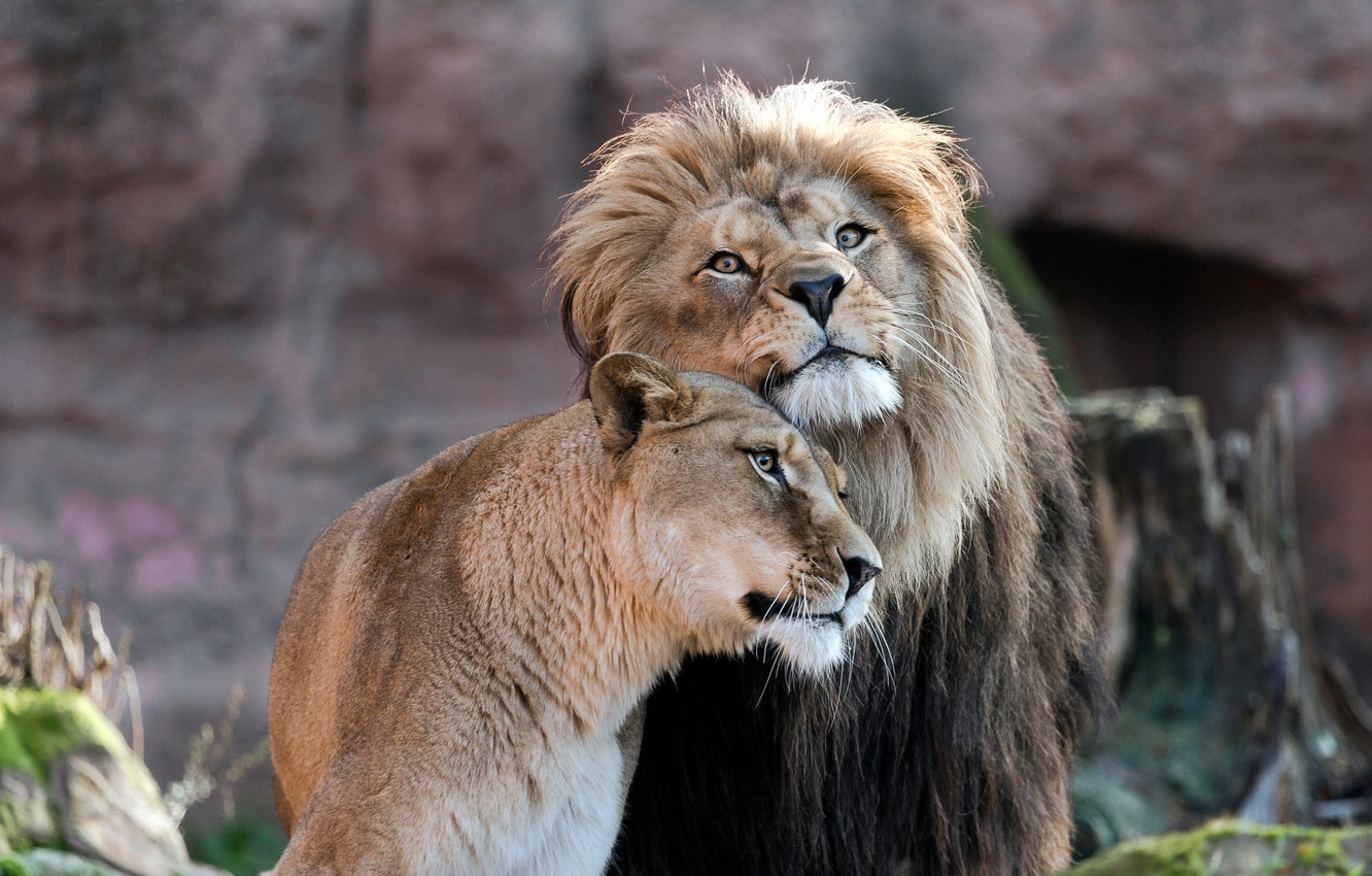 Wallpaper look, love, Leo, pair, weasel, lions, a couple, lioness, Duo,  relationship, muzzle, women's happiness would be cute next images for  desktop, section кошки - download