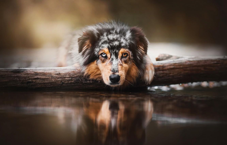 Photo wallpaper look, face, water, dog, log, Australian shepherd, Aussie