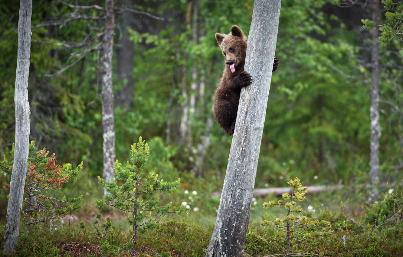 Photo wallpaper forest, language, pose, tree, baby, bear, bear, on the tree, brown