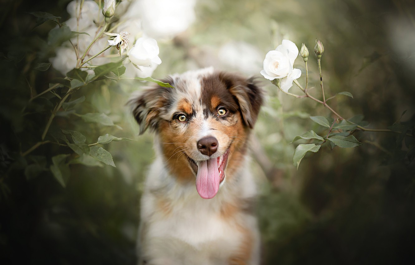 Photo wallpaper language, look, flowers, mood, roses, dog, puppy, face, doggie, Australian shepherd, Aussie