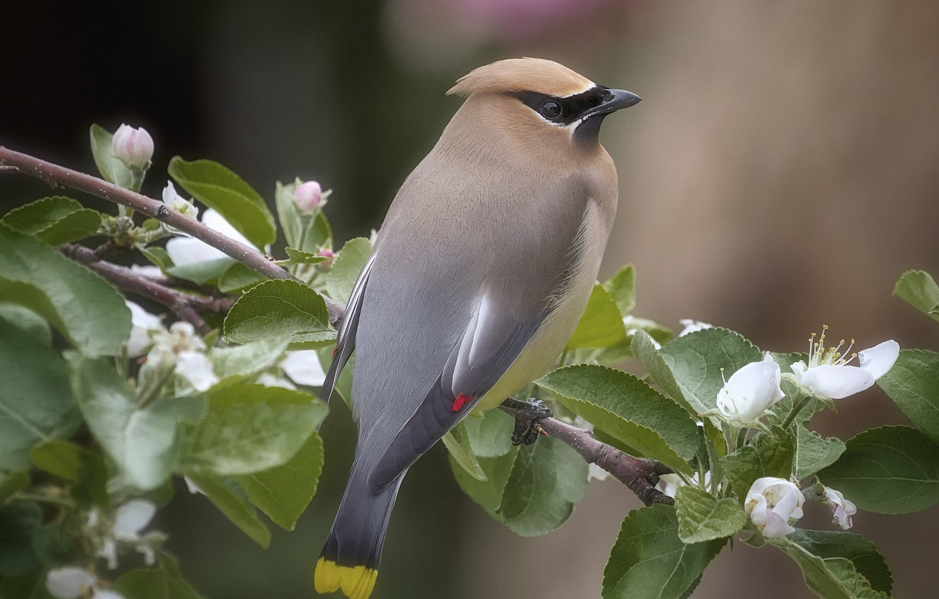 Photo wallpaper bird, Bush, branch, the Waxwing