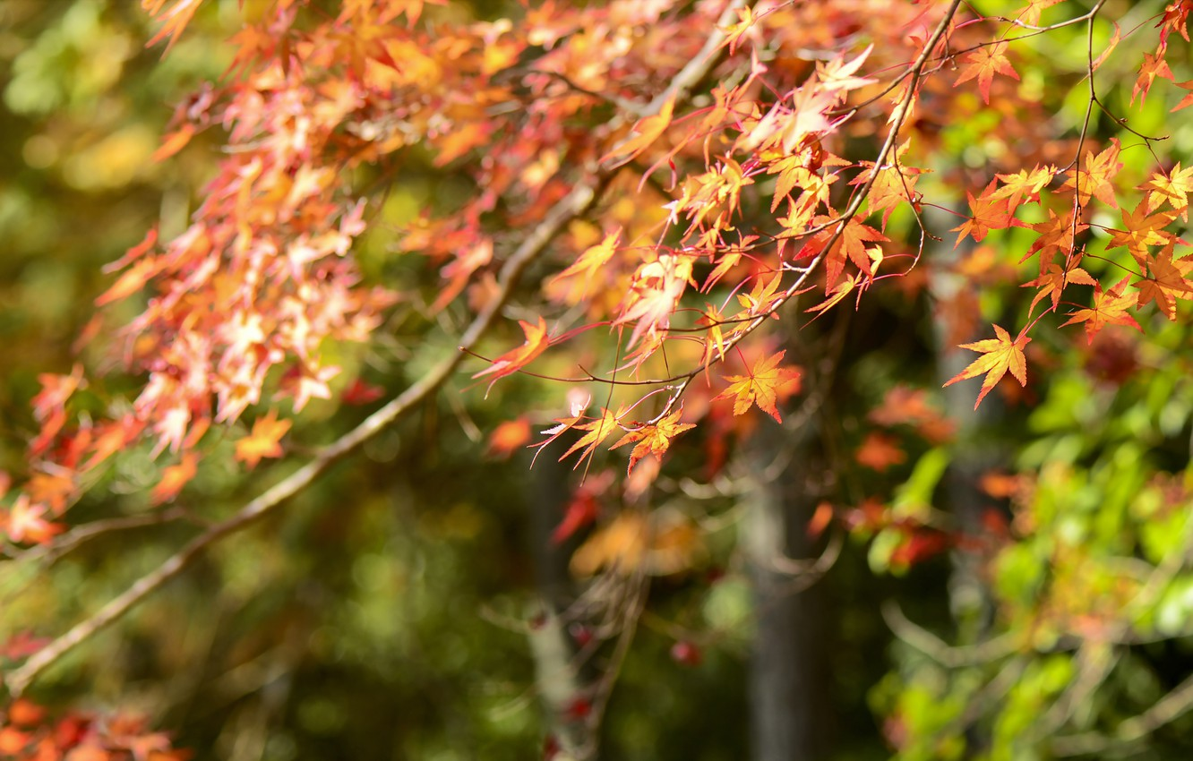 Photo wallpaper autumn, leaves, colorful, maple, autumn, leaves, autumn, maple