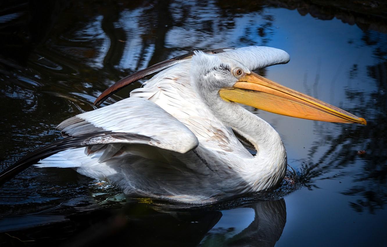 Photo wallpaper water, nature, reflection, bird, wings, beak, pond, blue background, stroke, waterfowl, Pelican