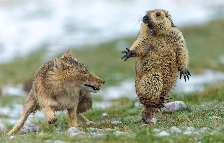Photo wallpaper grass, Fox, fox, marmot, Yongqing Bao, marmot, what!