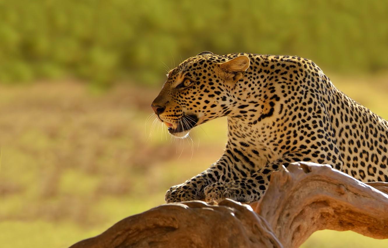 Photo wallpaper background, predator, leopard, snag, Kenya, dick cat