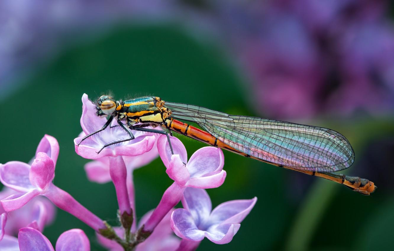 Photo wallpaper animals, flower, purple, summer, macro, nature, dragonfly, lilac