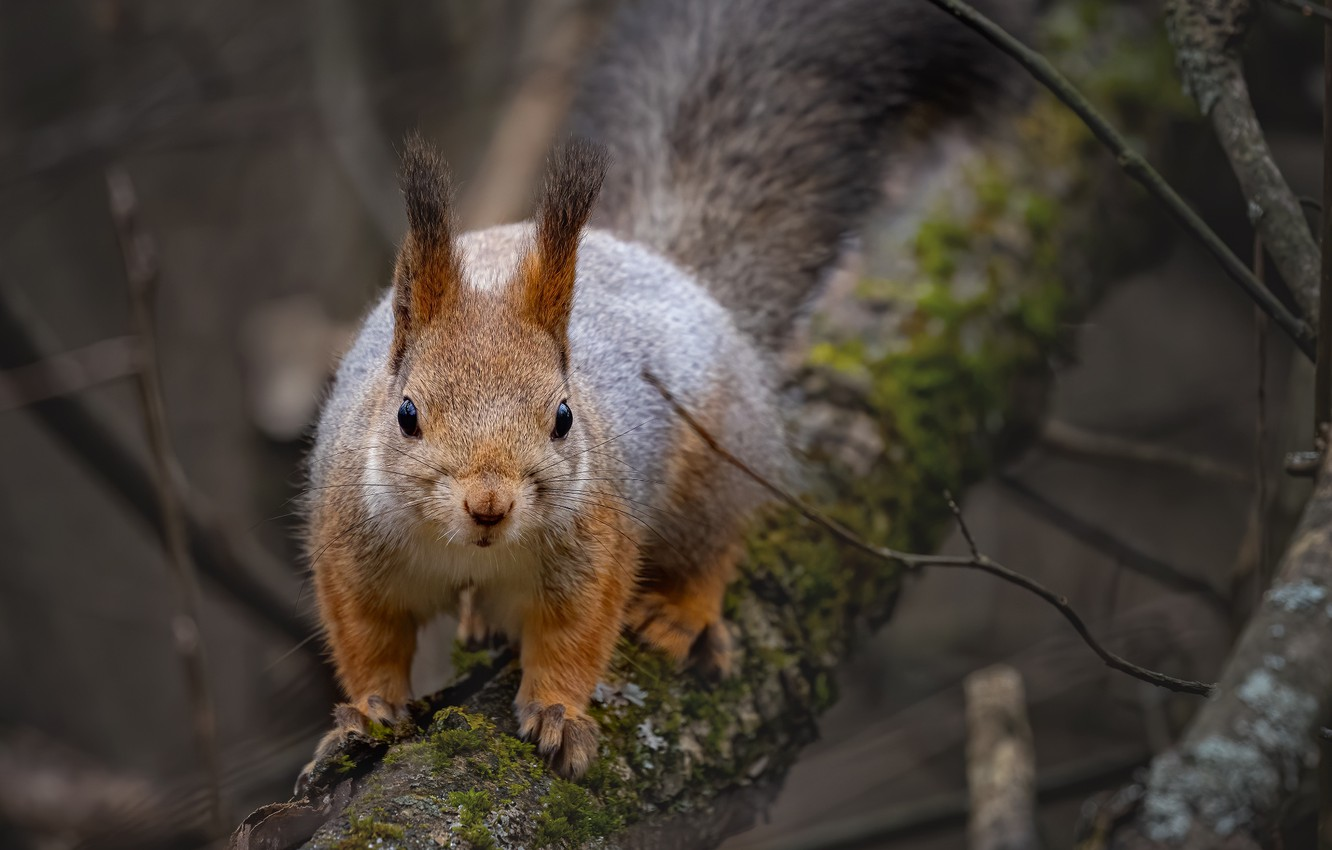 Photo wallpaper branches, nature, tree, animal, protein, animal, rodent