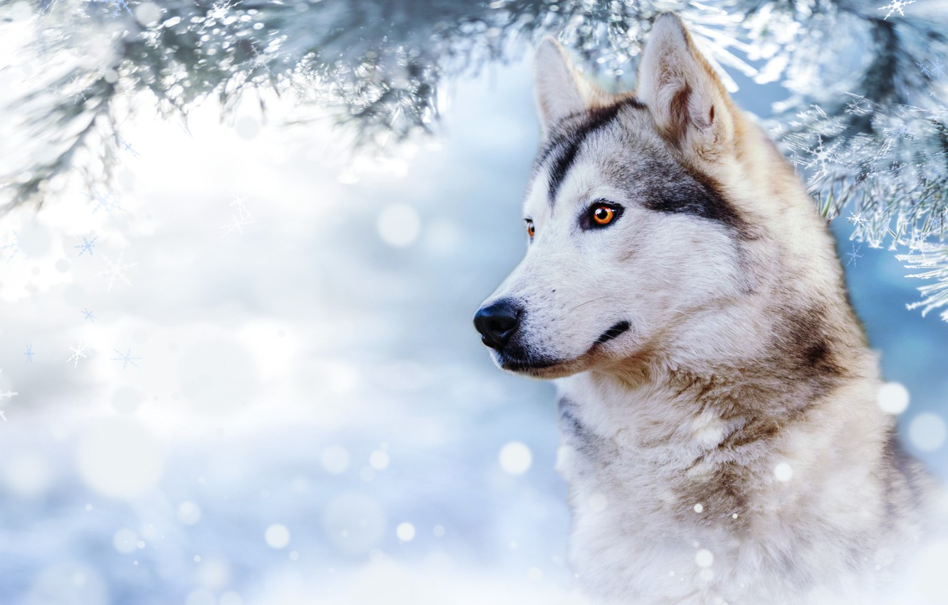 Photo wallpaper forest, look, background, husky