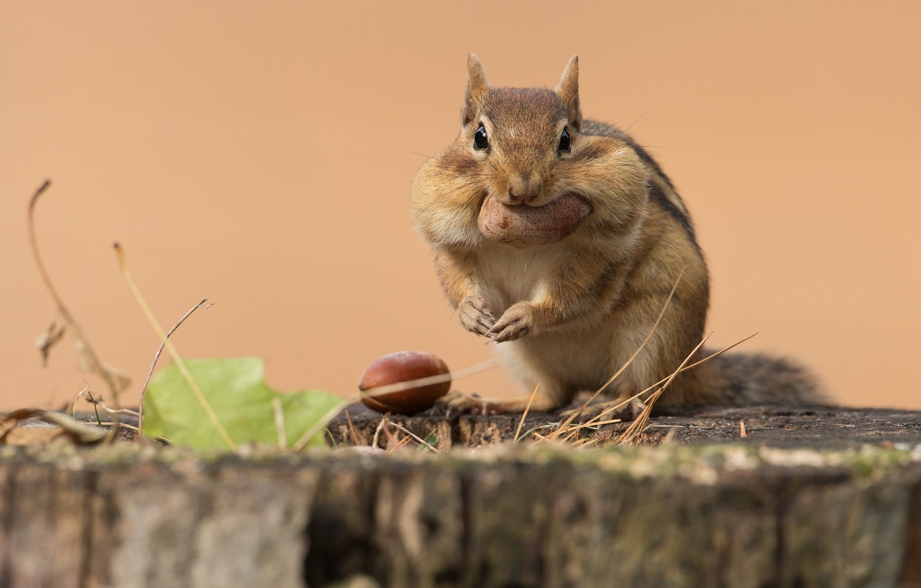 Photo wallpaper look, pose, stump, walnut, Chipmunk, sitting, meal