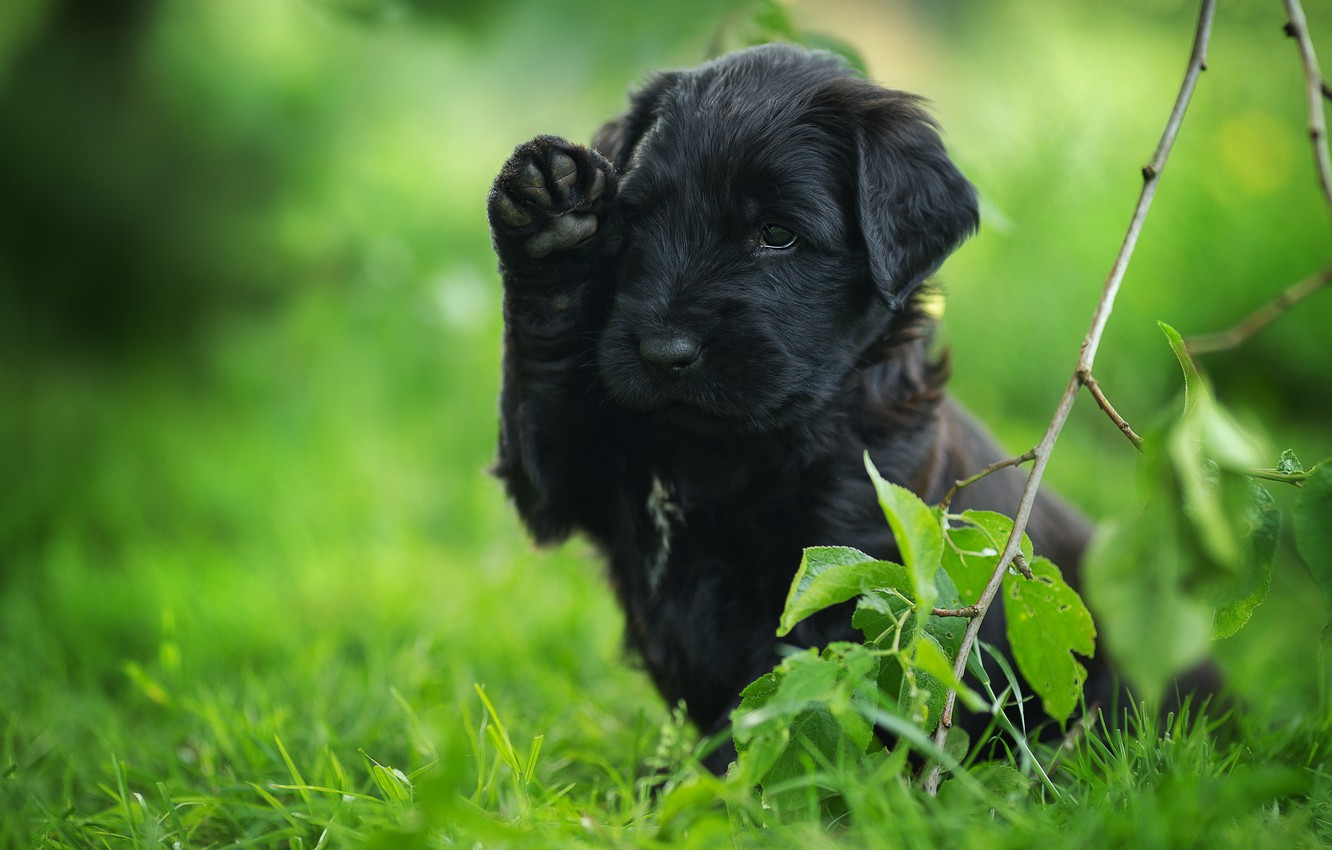 Photo wallpaper grass, leaves, pose, black, dog, branch, baby, puppy, green background