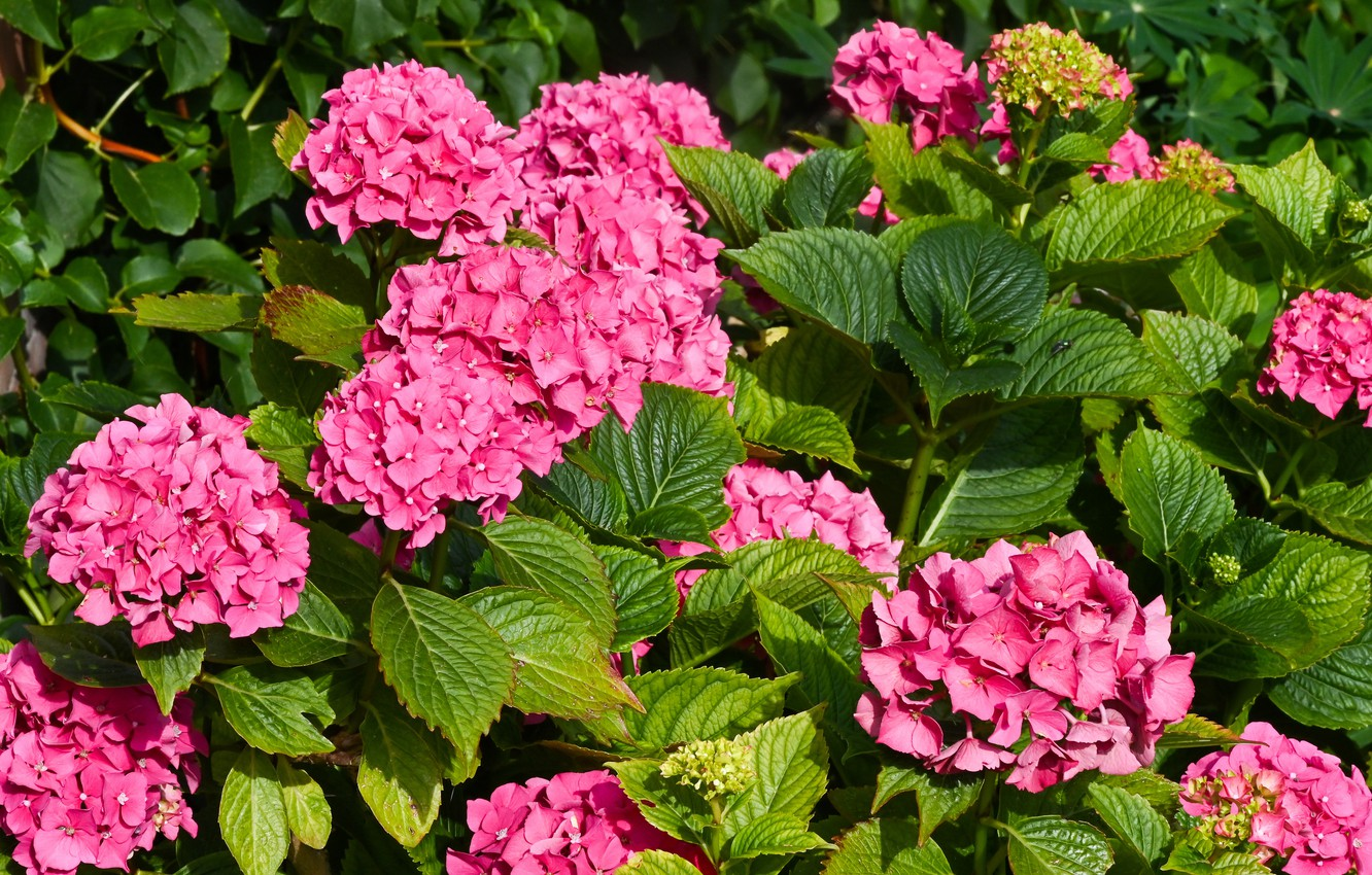 Wallpaper leaves, flowers, hydrangea images for desktop