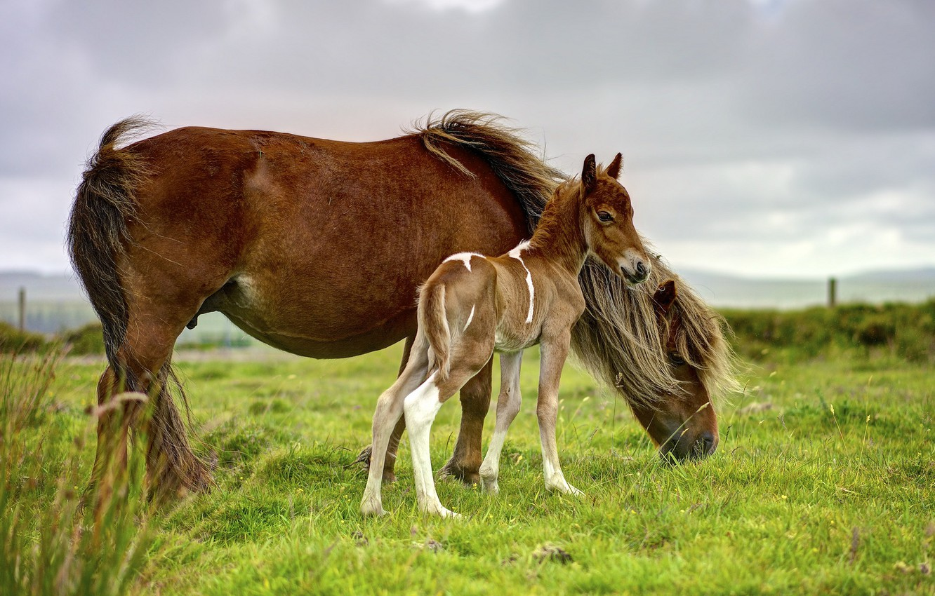 Photo wallpaper field, the sky, grass, overcast, horse, horse, horses, baby, horse, pasture, pony, brown, cub, two, …