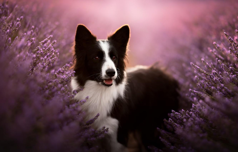 Photo wallpaper face, dog, lavender, bokeh, The border collie