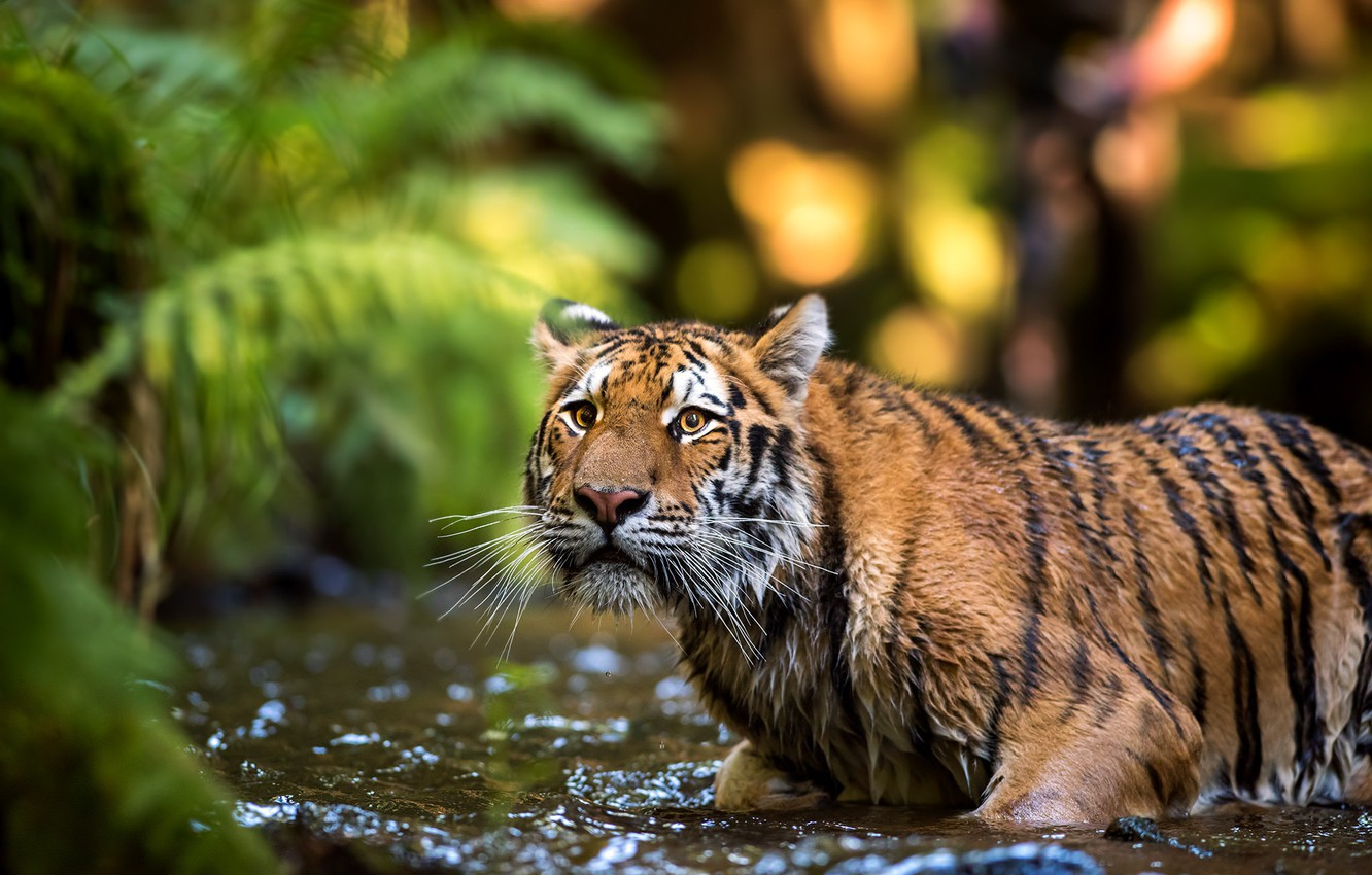 Photo wallpaper look, face, leaves, water, nature, tiger, pose, background, bathing, wild cat, pond, the expression, bokeh