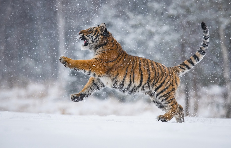 Photo wallpaper snow, tiger, tiger, snow, Petr Simon