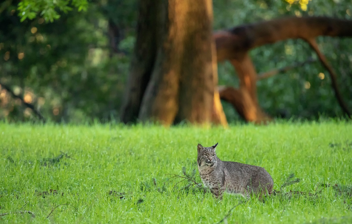 Photo wallpaper grass, look, trees, nature, pose, background, lawn, glade, walk, lynx, wild cat, lawn