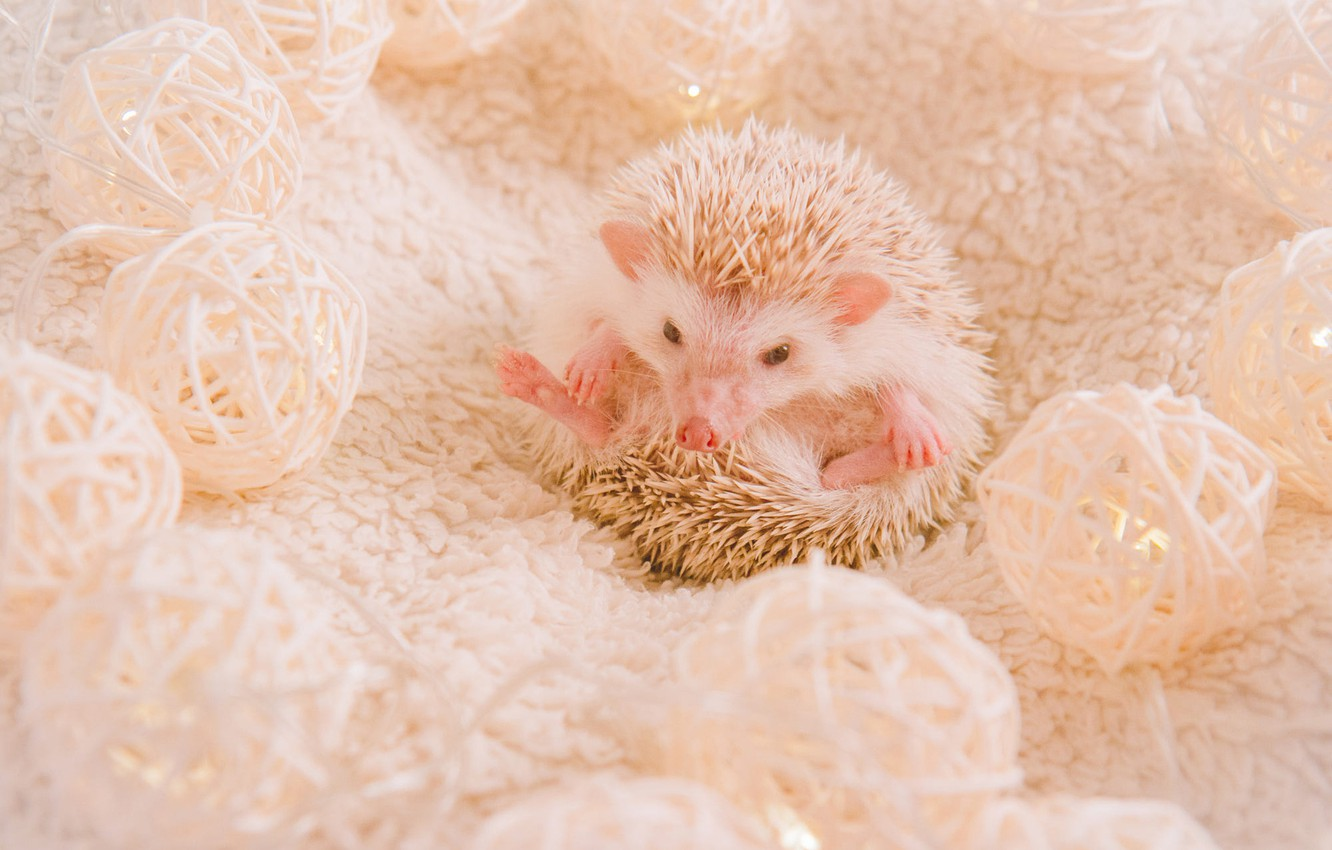 Photo wallpaper white, look, balls, needles, pose, background, pink, legs, pile, blanket, muzzle, fabric, fur, animal, hedgehog, …