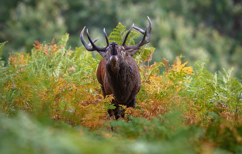 Photo wallpaper deer, horns, bokeh, roar