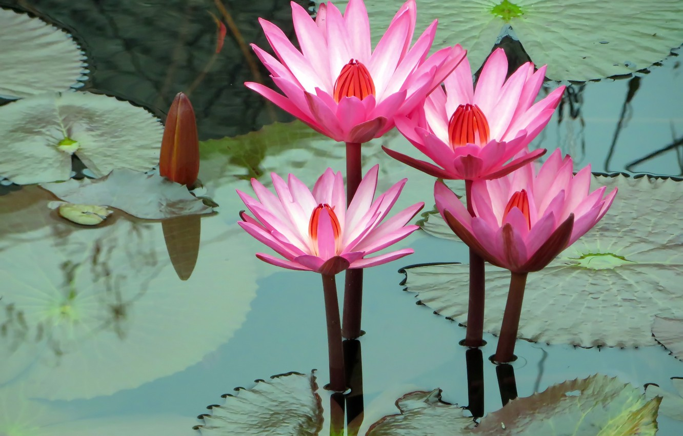 Photo wallpaper leaves, water, photo, water lilies