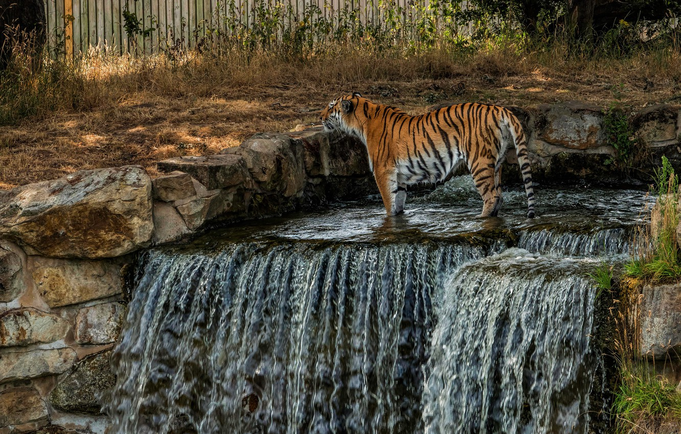 Photo wallpaper nature, tiger, stones, waterfall, wild cat, zoo