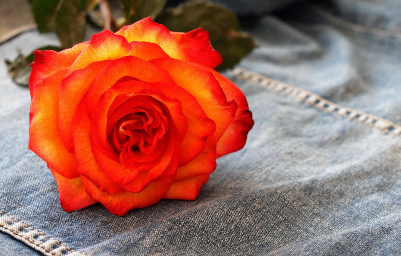 Photo wallpaper flowers, rose, tea rose