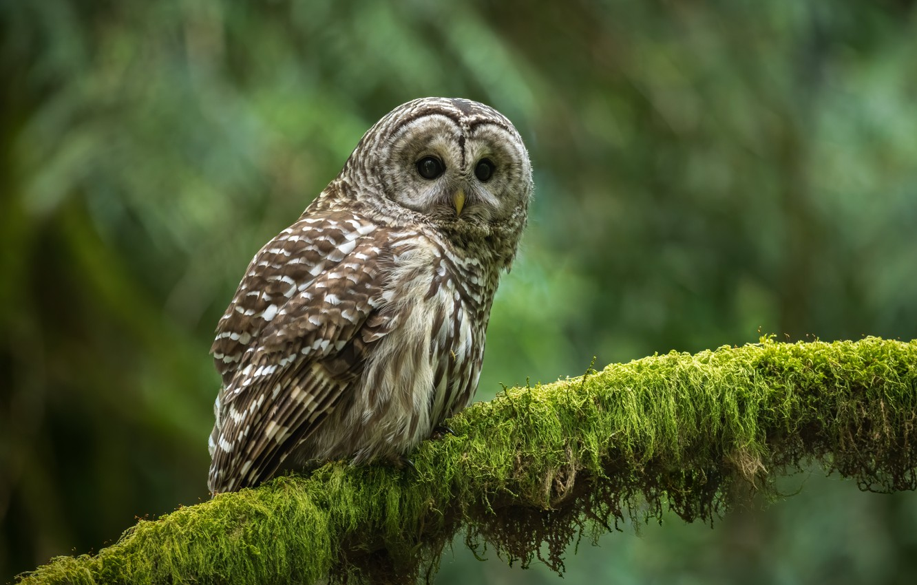 Photo wallpaper owl, bird, moss, branch, bokeh, A barred owl