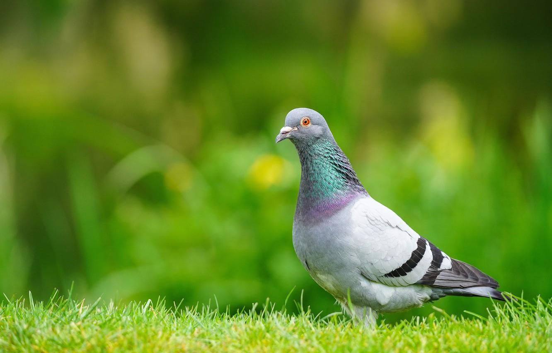 Photo wallpaper greens, grass, bird, glade, dove