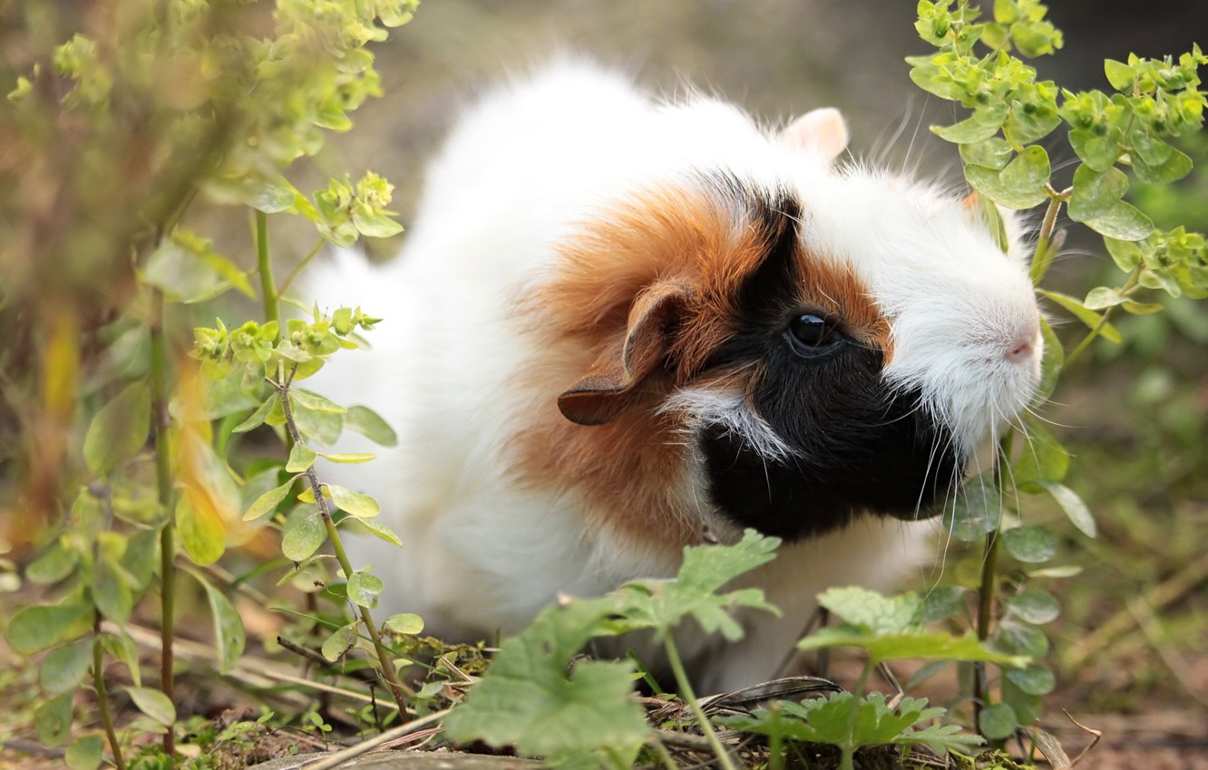 Photo wallpaper grass, nature, Guinea pig