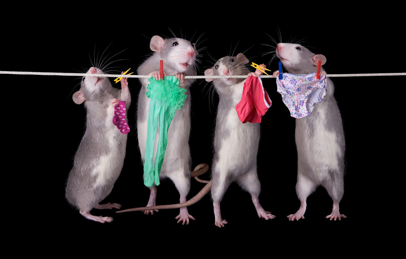 Photo wallpaper pose, linen, rope, panties, rats, socks, tights, briefs, black background, mouse, lower, clothespins, Quartet, wash, …