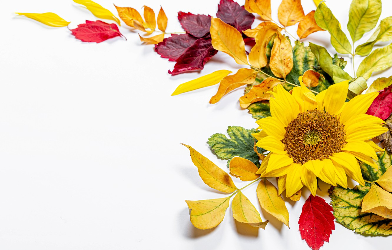 Photo wallpaper autumn, leaves, branches, sunflower, postcard, template, blank