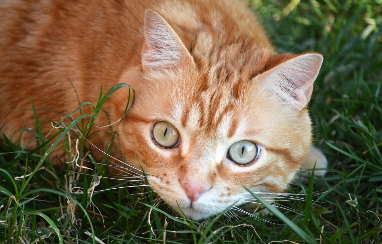Photo wallpaper grass, cat, look, red, muzzle, cat, глазиша