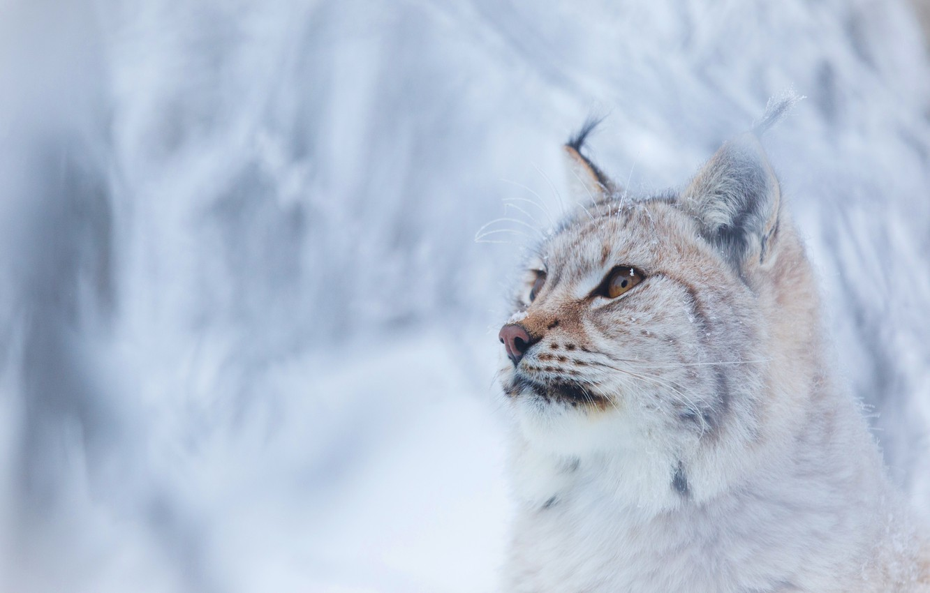 Photo wallpaper winter, forest, cat, look, face, snow, branches, background, snow, portrait, lynx, wild, adorable