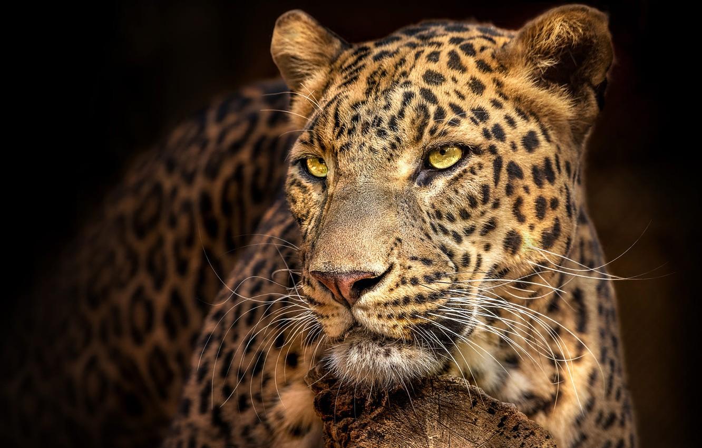 Photo wallpaper look, face, the dark background, portrait, leopard, handsome