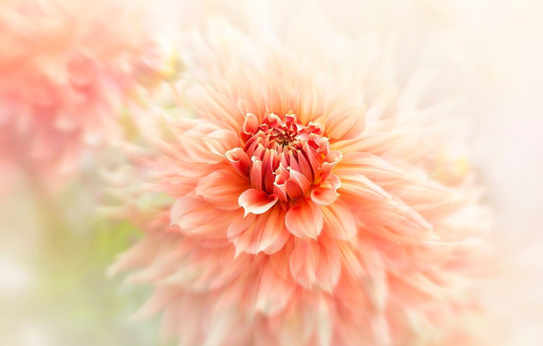 Photo wallpaper flower, macro, orange, blur, petals, light background, Dahlia